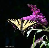 A Western tiger swallowtail nectaring on a butterfly bush. Note that it is missing part of its tail. (Photo by Kathy Keatley Garvey)