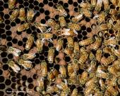 A honey bee frame. Find the queen bee! (Photo by Kathy Keatley Garvey)