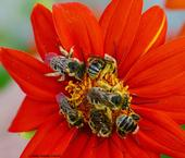 Male longhorned bees, Melissodes, spending the night on a Mexican sunflower (Tithonia)in Vacaville, Calif. (Photo by Kathy Keatley Garvey)