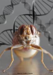 Eye-to-eye with a gravid (pregnant) tsetse fly, Glossina morsitans morsitans. (Photo by Kathy Keatley Garvey)