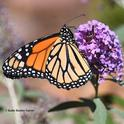 A male monarch nectars on a butterfly bush in Vacaville, Calif. on Oct. 12, 2019. (Photo by Kathy Keatley Garvey)