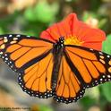 A male monarch nectaring on Mexican sunflower (Tithonia) in Vacaville, Calif. (Photo by Kathy Keatley Garvey)