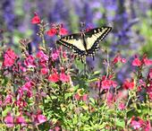 An anise swallowtail, Papilio zelicaon, sets the scene in the Kate Frey Pollinator Garden at Sonoma Cornerstone. (Photo by Kathy Keatley Garvey)