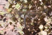 Green darner dragonfly, Anax junius, in Benicia State  Historical Park. (Photo by Kathy Keatley Garvey)