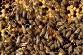 """What's going on in the hive? World-renowned honey bee geneticist Robert Eugene """"Rob"""" Page Jr., the 2018 recipient of the Thomas and Nina Leigh Distinguished Alumni Award, UC Davis Department of Entomology and Nematology, will speak on"""
