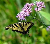 Western tiger swallowtail, Papilio rutulus, nectaring on verbena in the Kate Frey Pollinator Garden, Sonoma Cornerstone. (Photo by Kathy Keatley Garvey)