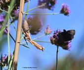 A female praying mantis, Stagmomantis limbata (as identified by praying mantis expert Lohit Garikipati of UC Davis) eyes a mourning cloak butterfly nectaring on verbena. (Photo by Kathy Keatley Garvey)