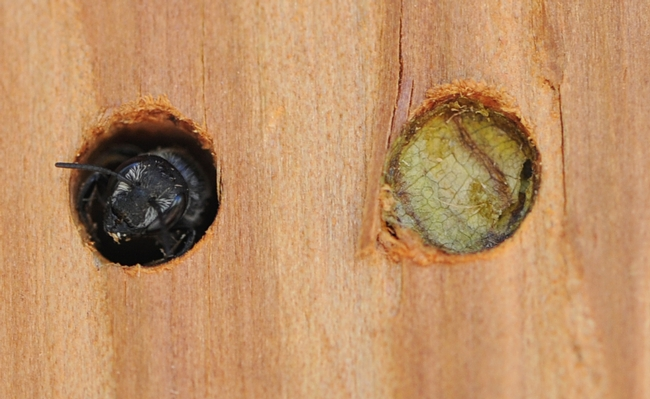 Leafcutting bee (left) emerges from her hole in a photo taken last summer. At right a plugged hole. (Photo by Kathy Keatley Garvey)