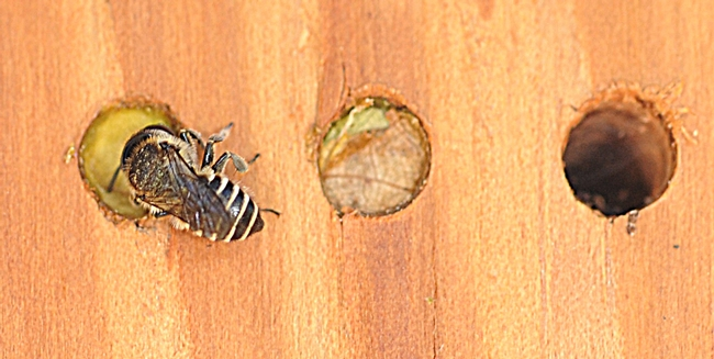 Leafcutting bee sealing her nest in a photo taken last summer. (Photo by Kathy Keatley Garvey)
