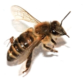 Parasitic fly laying eggs in honey bee. (PLoS Journal)