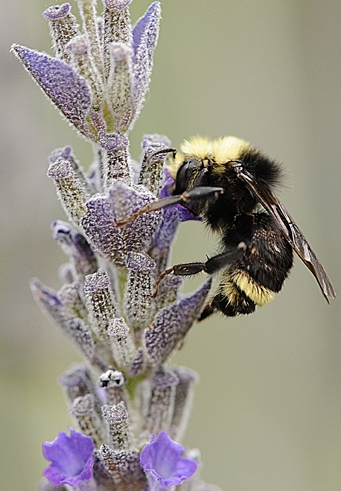 Bombus vosnesenskii (yellow-faced bumble bee). (Photo by Kathy Keatley Garvey)