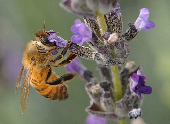 Honey bee foraging on lavender. (Photo by Kathy Keatley Garvey)
