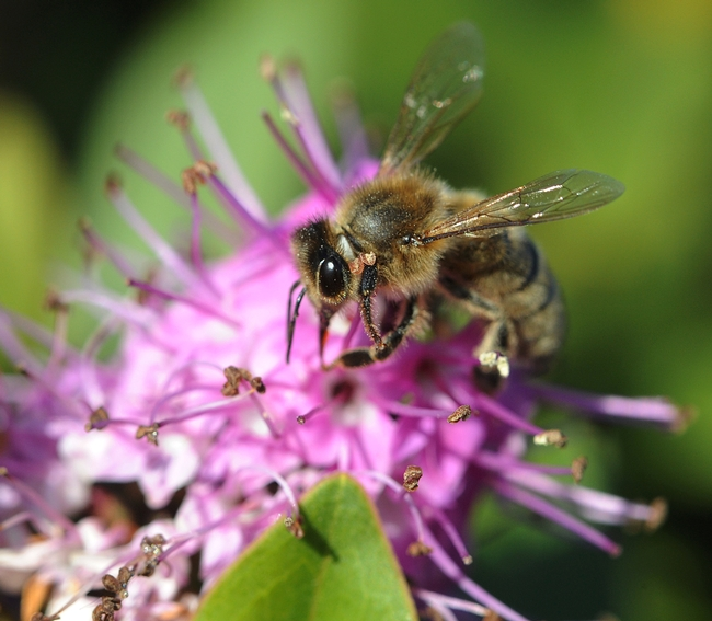Honey bee foraging on hebe. (Photo by Kathy Keatley Garvey)