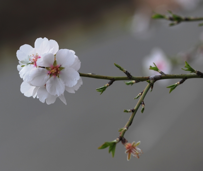 Delicate almond blossoms exuding