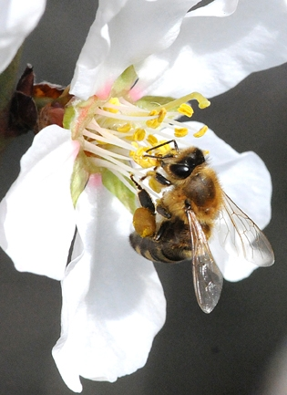 Honey bee foraging on almond blossom. (Photo by Kathy Keatley Garvey)