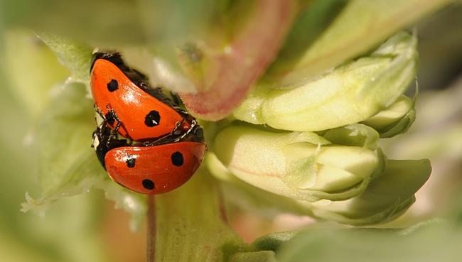 Ladybugs, aka lady beetles, in fava beans. (Photo by Kathy Keatley Garvey)