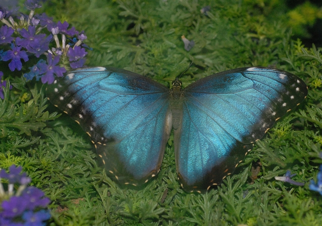 Morpho butterfly, a genus that Phil DeVries studies. (Photo by Kathy Keatley Garvey)