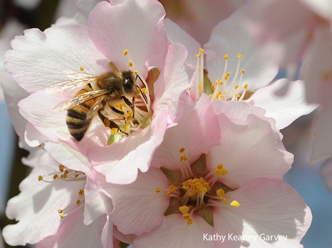 Honey bee pollinating almonds in Vacaville. (Photo by Kathy Keatley Garvey)