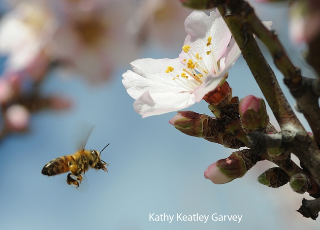 Honey bee cleaning her tongue as she heads for the next blossom. (Photo by Kathy Keatley Garvey)