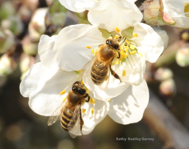 Honey bees foraging in almonds on the grounds of the Laidlaw facility. (Photo by Kathy Keatley Garvey)