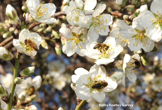Five bees foraging on the almonds on the Laidlaw facility grounds. (Photo by Kathy Keatley Garvey)