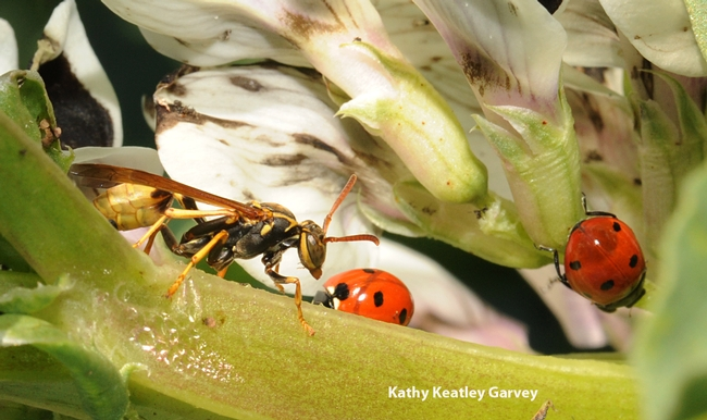Paper wasp from the genus Mischocyttarus, goes head to head with a ladybug. (Photo by Kathy Keatley Garvey)