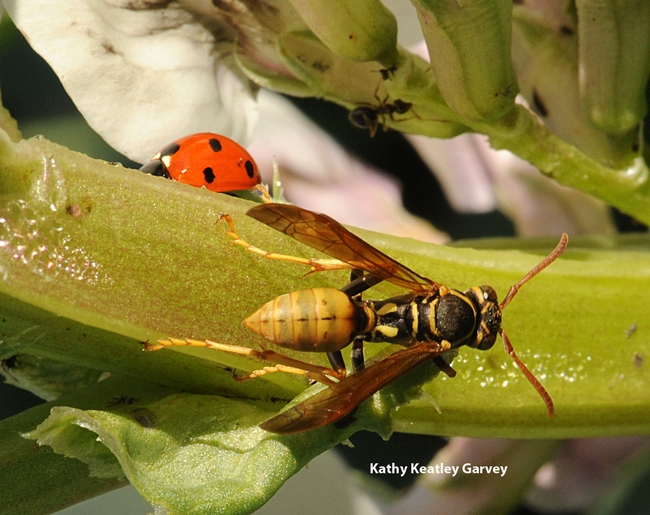 This photo clearly shows the long, narrow petiole between the thorax and abdomen. (Photo by Kathy Keatley Garvey)