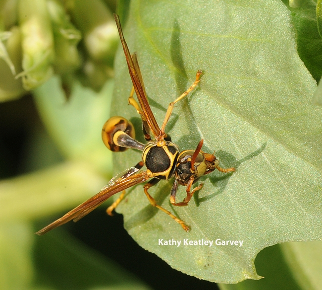 Close-up of paper wasp (genus Mischocyttarus). (Photo by Kathy Keatley Garvey)
