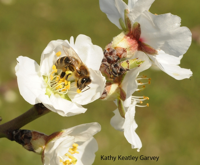 Honey bee foraging on almond blossoms on Valentine's Day. (Photo by Kathy Keatley Garvey)