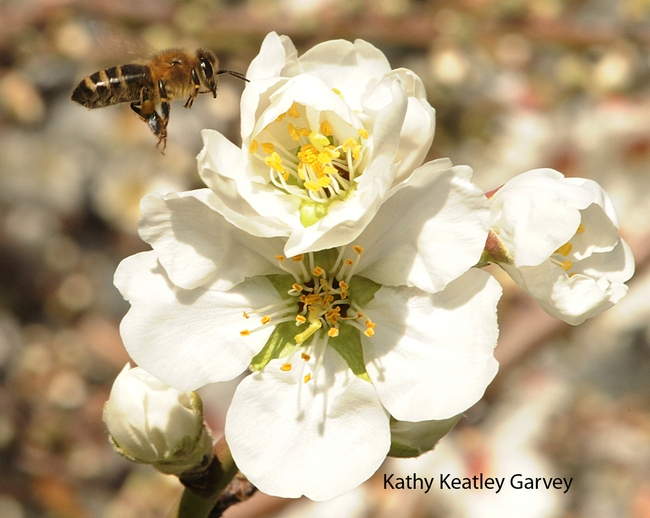 Honey bee in flight on Valentine's Day. (Photo by Kathy Keatley Garvey)