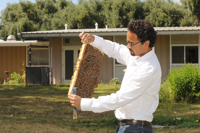 Brian Johnson checks out a frame at the Harry H. Laidlaw Jr. Honey Bee Research Facility at UC Davis. (Photo by Kathy Keatley Garvey)