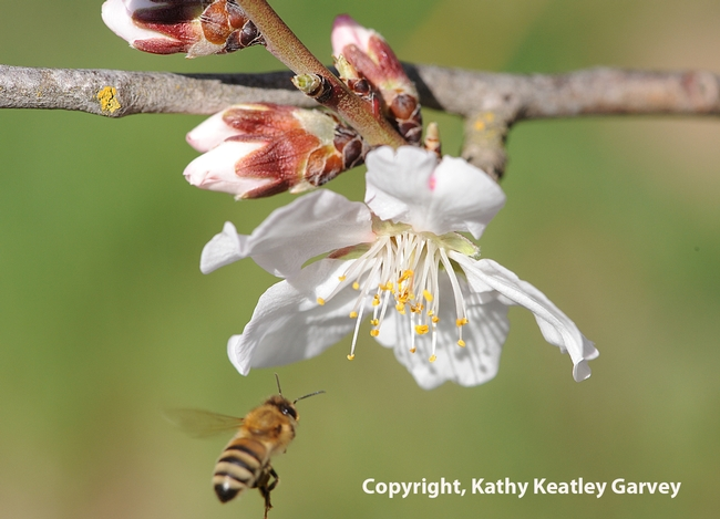 Honey bee heading for an almond blossom on Bee Biology Road at UC Davis.  (Photo by Kathy Keatley Garvey)