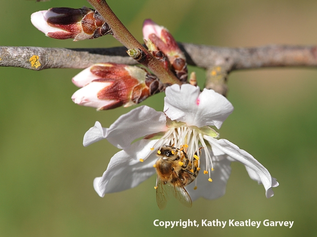 Honey bee foraging in almond blossoms. (Photo by Kathy Keatley Garvey)