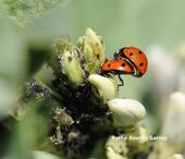 Ladybugs in the fava beans at the Haagen-Dazs Honey Bee Haven, UC Davis. (Photo by Kathy Keatley Garvey)