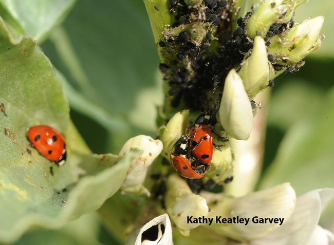 Note the scores of aphids behind the ladybugs. (Photo by Kathy Keatley Garvey)