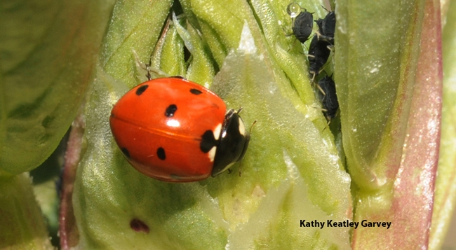 Ladybug crawls past some aphids. (Photo by Kathy Keatley Garvey)