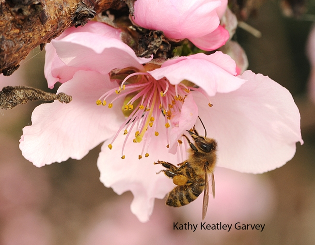 Honey bee on nectarine blossom on Presidents' Day. (Photo by Kathy Keatley Garvey)