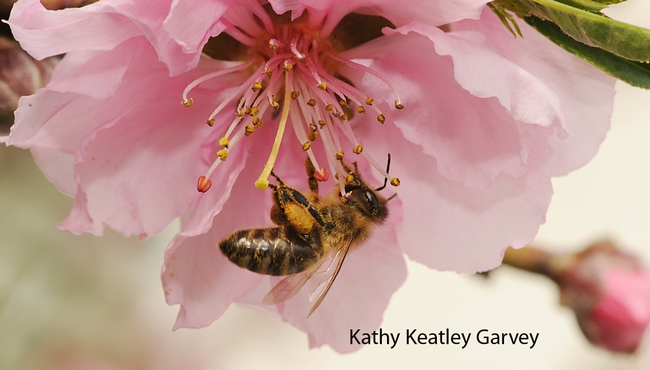 Pollen-packing honey bee. (Photo by Kathy Keatley Garvey)