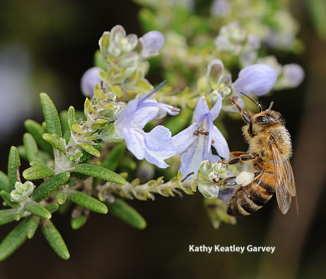 Honey bee foraging on rosemary. (Photo by Kathy Keatley Garvey)