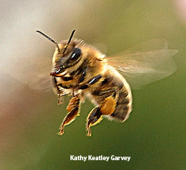 Honey bee in flight. (Photo by Kathy Keatley Garvey)