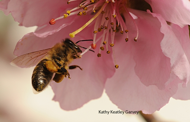 Honey bee packing pollen while foraging on a nectarine blossom. (Photo by Kathy Keatley Garvey