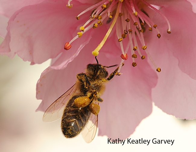 Honey bee packing more pollen. (Photo by Kathy Keatley Garvey)