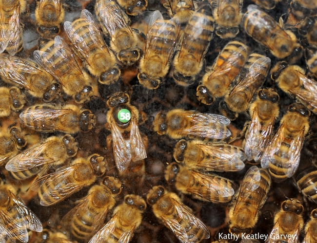Queen bee and her retinue. (Photo by Kathy Keatley Garvey)