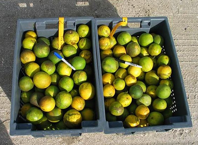 Bin at right shows Huanglongbing (HLB) symptoms caused by Asian citrus psyllid. At left: normal fruit. (Photo by S. E. Halbert, Florida Department of Agriculture and Consumer Services)