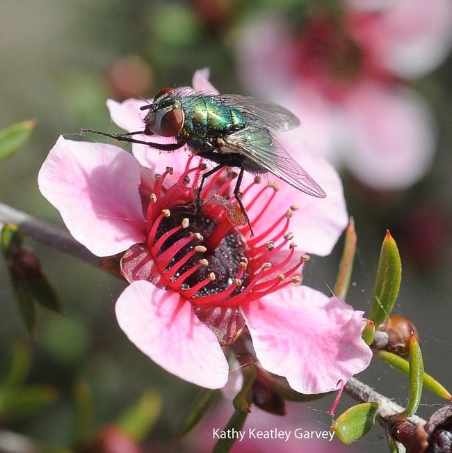 Blow fly on a New Zealand tea tree (Leptospermum scoparium). (Photo by Kathy Keatley Garvey)