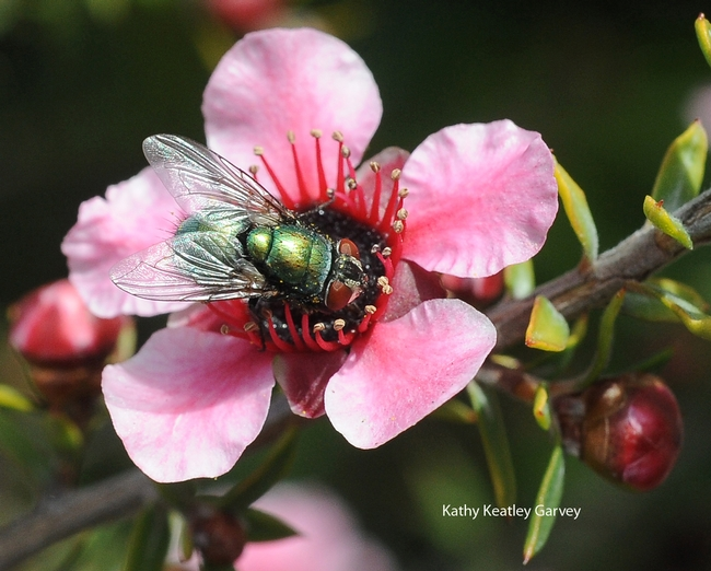 Blow fly gathering nectar from New Zealand tea tree. (Photo by Kathy Keatley Garvey)