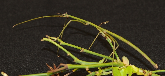 Close-up of walking stick. (Photo by Kathy Keatley Garvey)