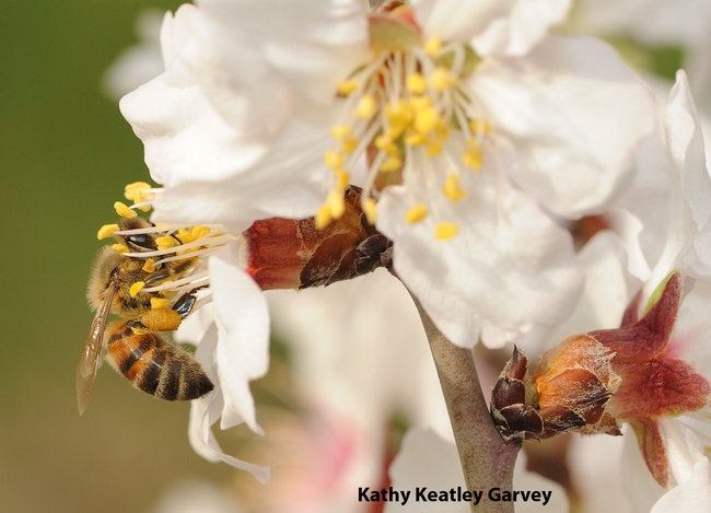 Honey bee working an almond blossom on the grounds of the Harry H. Laidlaw Jr. Honey Bee Research Facility at UC Davis. (Photo by Kathy Keatley Garvey)