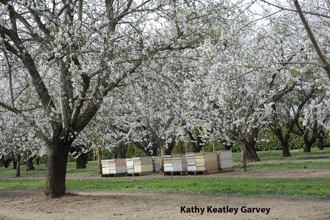 Almond orchard on Pitt School Road, Dixon, Calif. (Photo by Kathy Keatley Garvey)