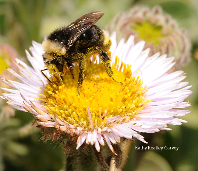 Covered in pollen, a yellow-faced bumble bee forages on a seaside daisy at Bodega Bay on June 10, 2010. (Photo by Kathy Keatley Garvey)